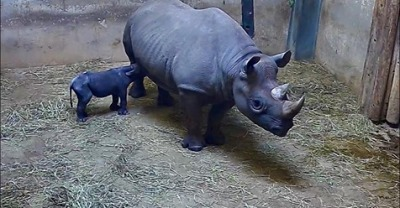 Rhino baby at Chicago zoo!